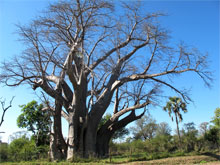 zimbabwe-big-tree.jpg